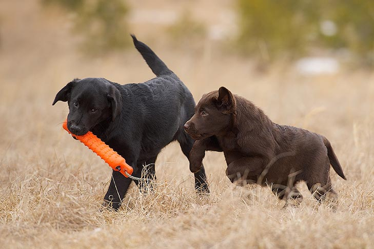Two Labrador Retriever puppies playing with a decoy outdoors.