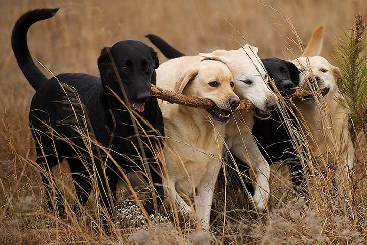 Yellow and black Labrador Retrievers all fetching the same large stick.