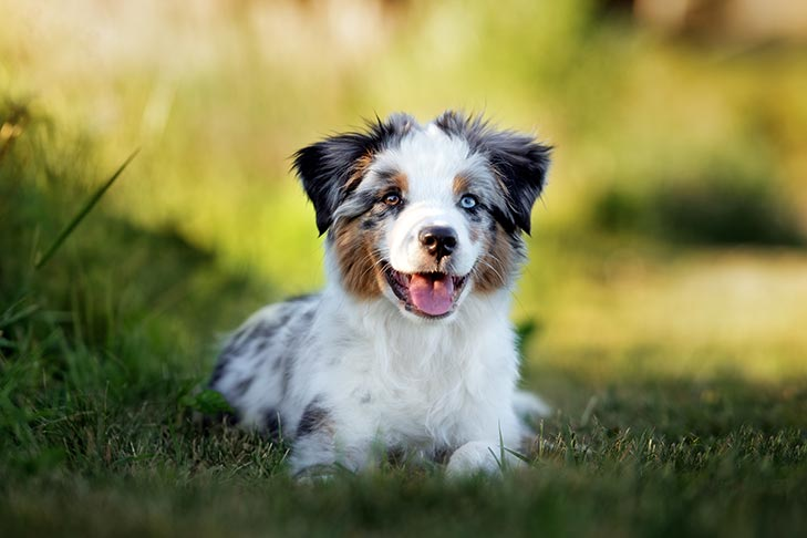 Miniature American Shepherd puppy laying in the grass.