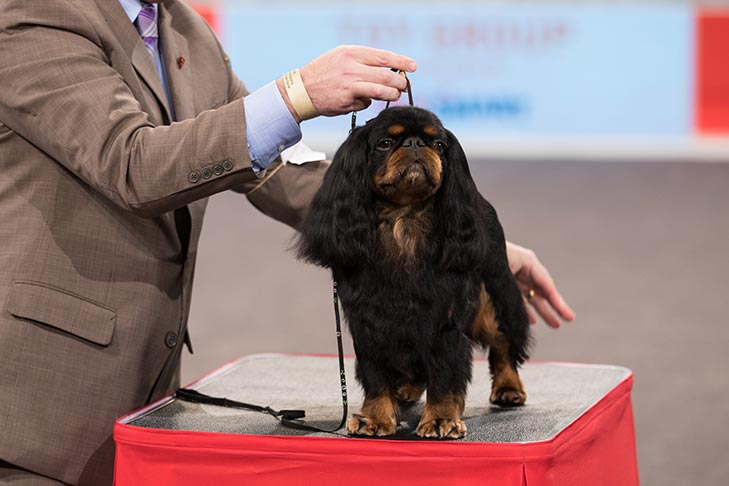 BBE Toy Group Third, Best of Breed, and Best Bred By in Breed/Variety: CH Clussexx Paddington Of Flivverway, English Toy Spaniel (King Charles & Ruby); Toy Group judging at the 2016 AKC National Championship presented by Royal Canin in Orlando, FL.