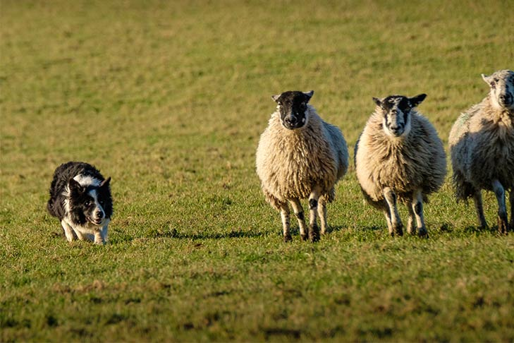 Border Collie herding sheep in a field.