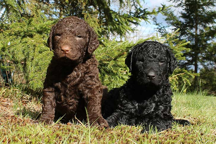 Curly Coated Retriever puppies sitting in the grass outdoors.