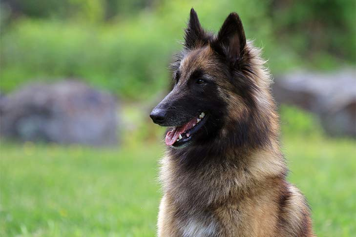 Belgian Tervuren sitting outdoors - head and shoulders.