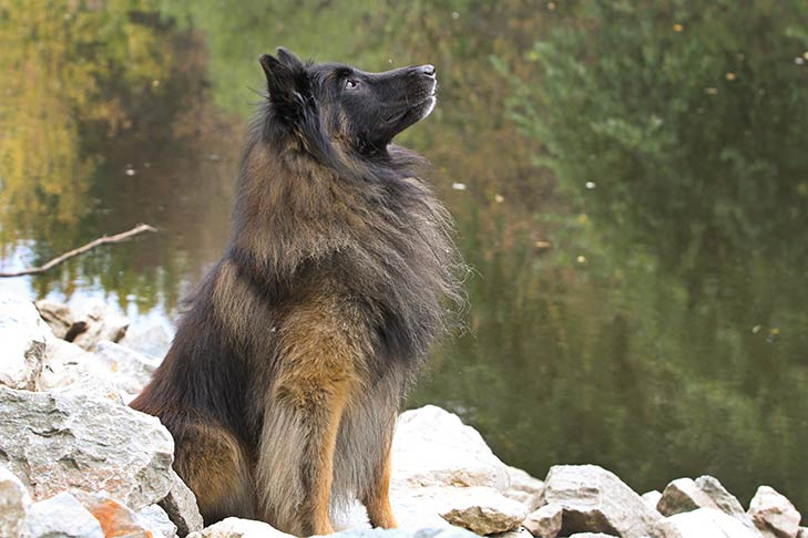 Belgian Tervuren sitting on rocks near a pond, looking up.
