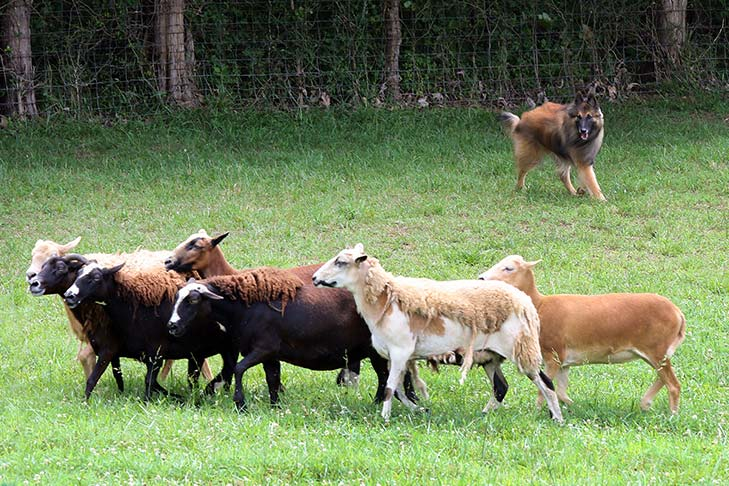 Belgian Tervuren herding sheep in a field.