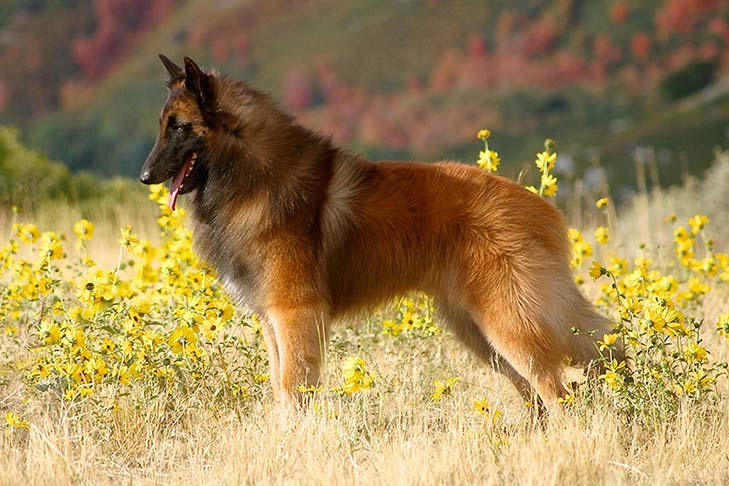Belgian Tervuren standing in a field with yellow wildflowers.