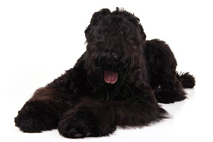 Black Russian Terrier lying in three-quarter view facing forward