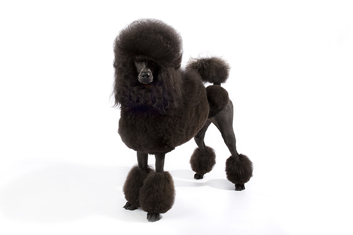 Standard Poodle Standing