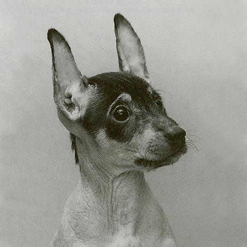 Peruvian Inca Orchid puppy.