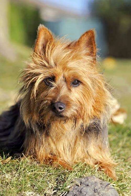 Australian Terrier lying in the grass outdoors in the sunshine.