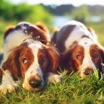 Welsh Springer Spaniels laying side by side in the grass.