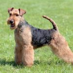 Welsh Terrier standing stacked in the grass.