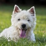 West Highland White Terrier laying down in the grass.