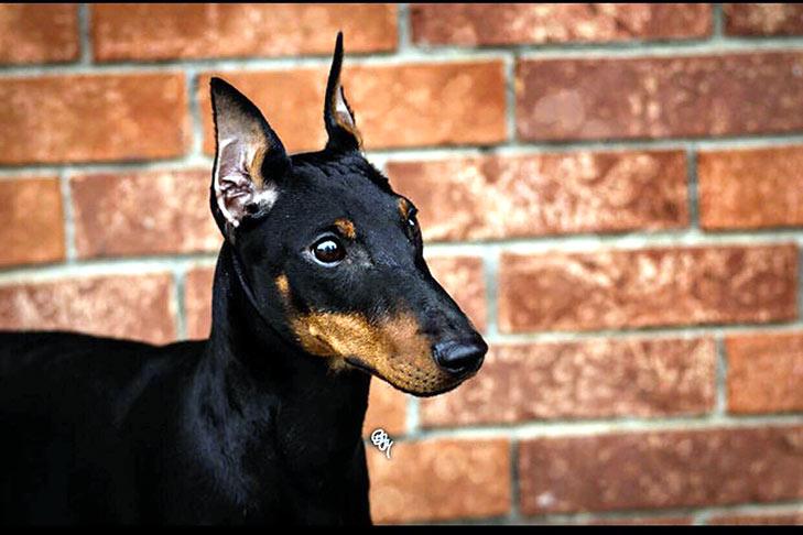Manchester Terrier Standard