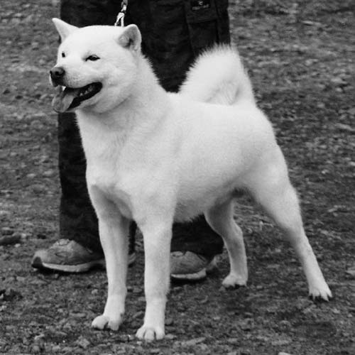 Hokkaido Dog Breed Information - American Kennel Club