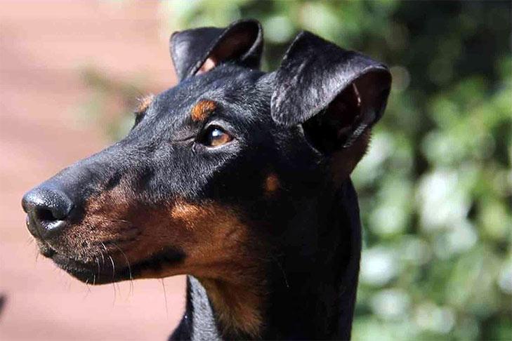 Manchester Terrier Standard Head