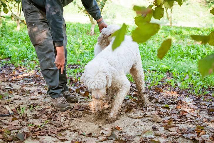 Lagotto Romagnolo digging for truffles.