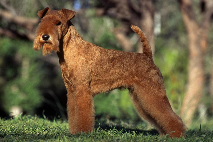 Lakeland Terrier standing stacked outdoors.