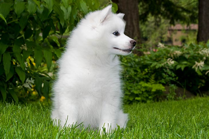 American Eskimo Dog Puppies For Sale - AKC PuppyFinder