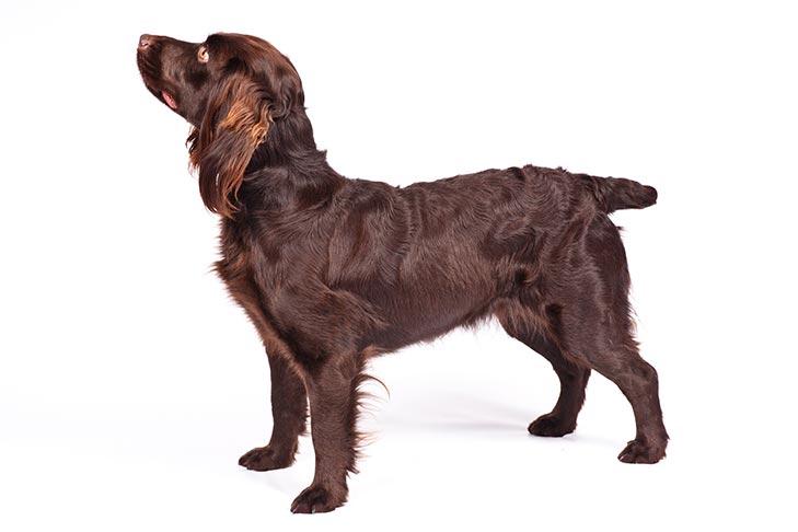 Boykin Spaniel standing sideways facing left.
