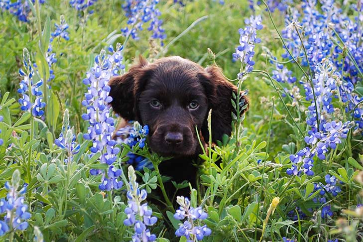 Boykin spaniel puppy standing neck-high in a field of blue bonnets.