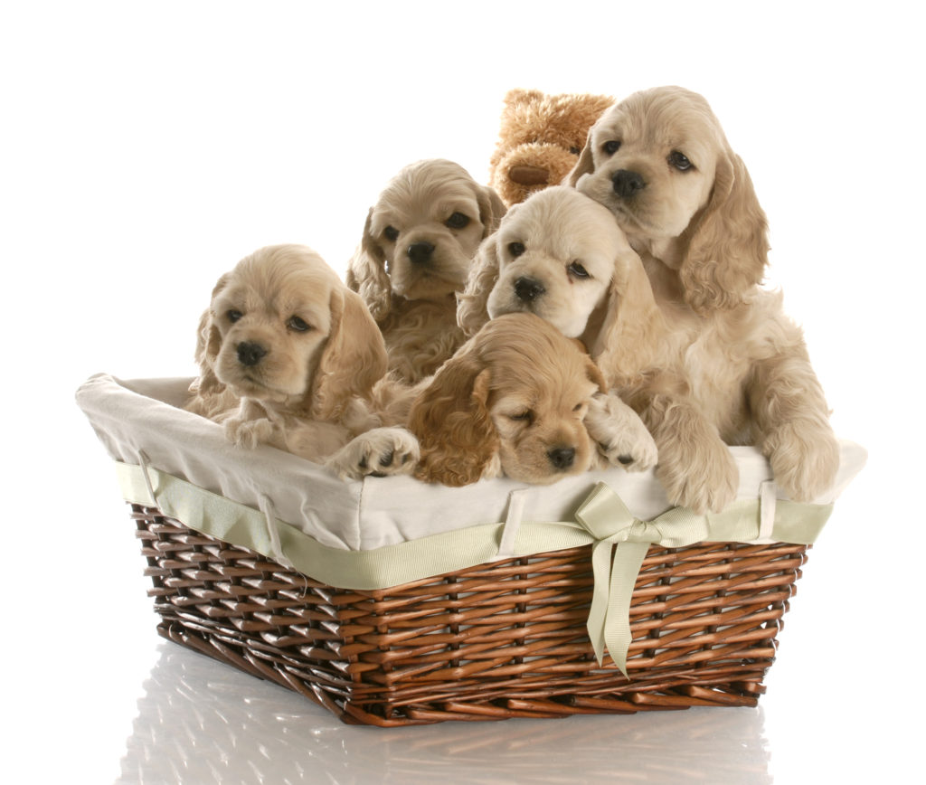 Basket of Cocker Spaniel puppies.