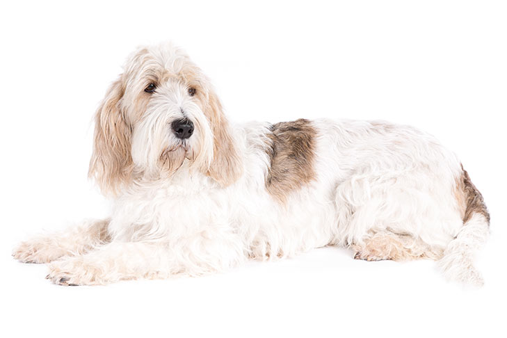 Grand Basset Griffon Vendéen laying down facing left, head turned forward.
