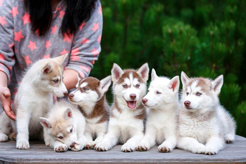 Litter of Siberian Husky puppies on a table outdoors.