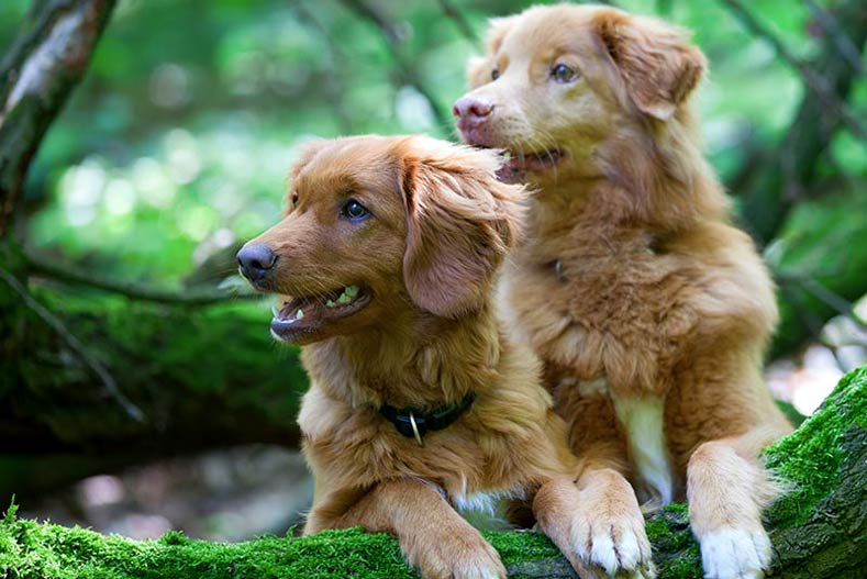 Two Nova Scotia Duck Tolling Retrievers jumping up on a low tree limb.