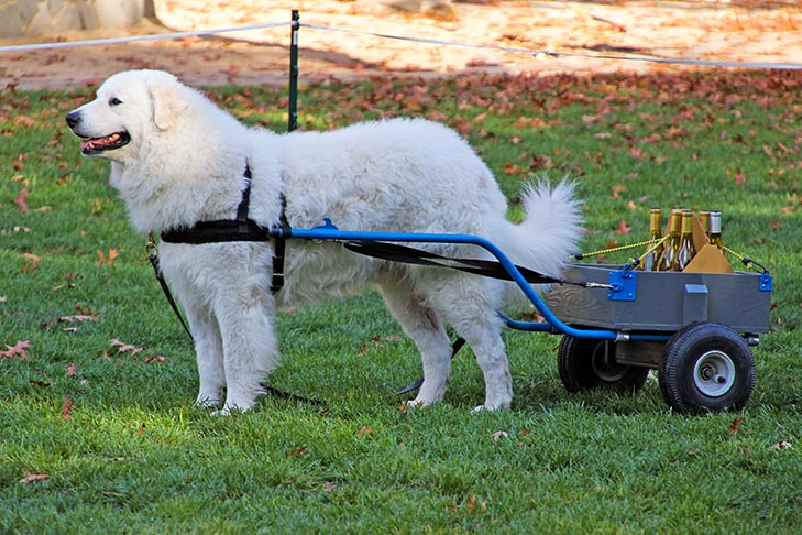 Kuvasz harnessed to a cart outdoors.