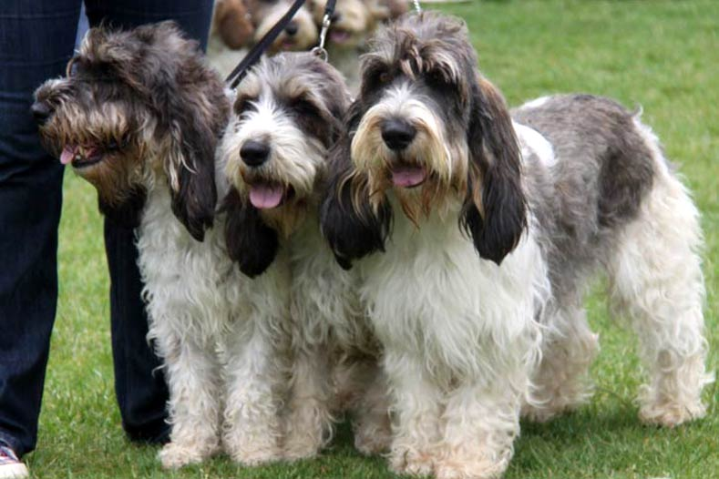 Grand Basset Griffon Vendeen Trio