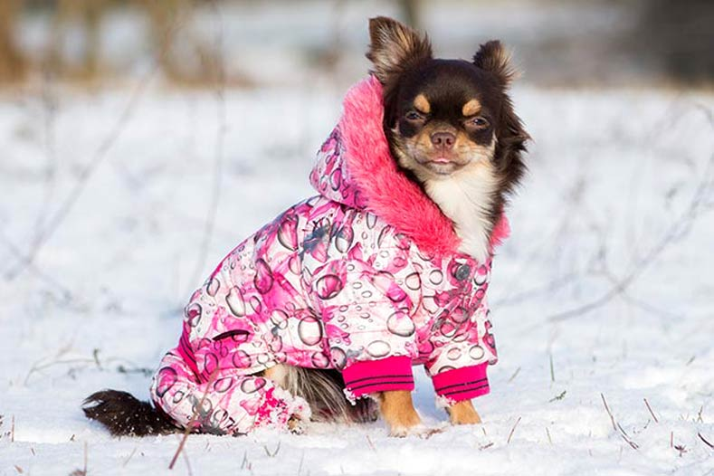Chihuahua in a Winter Coat