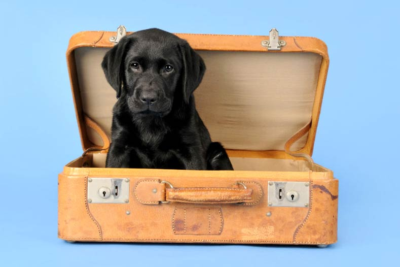 Puppy's First Flight Black Lab United PetSafe