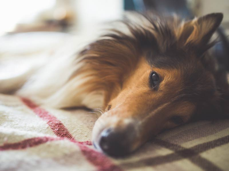 How To Treat Dog Flu At Home