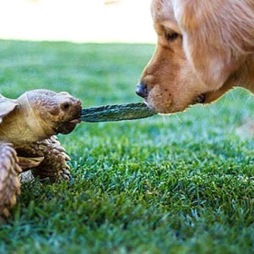Meet the Golden Retriever and Tortoise Who Are BFFs