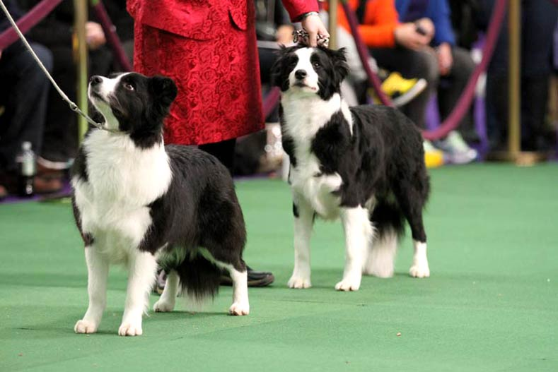 9 things you may not know about the westminster kennel club dog show