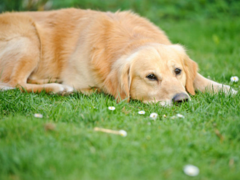 Thyroid Disease in Dogs