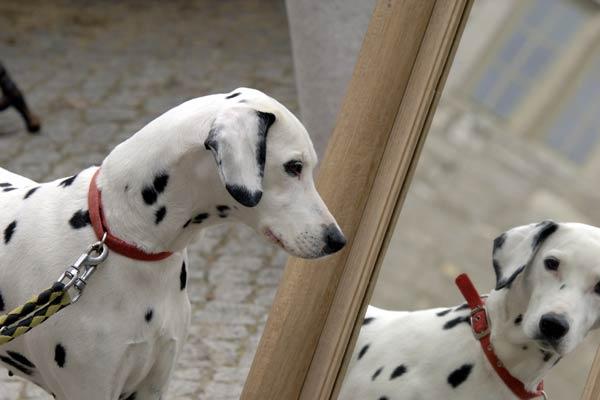dalmatian-self-awareness-body-image.jpg