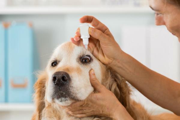 Golden Retriever having eye drops administered