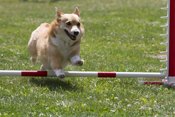 Dog Training Agility