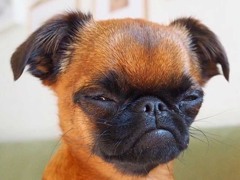 10 amazing brussels griffon expressions