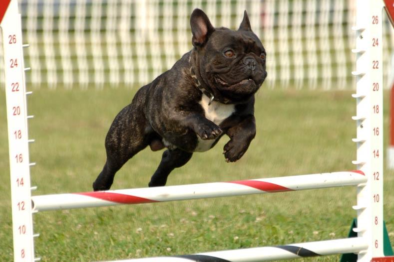 Public Education Educator Resources Soaring Soren French Bulldog