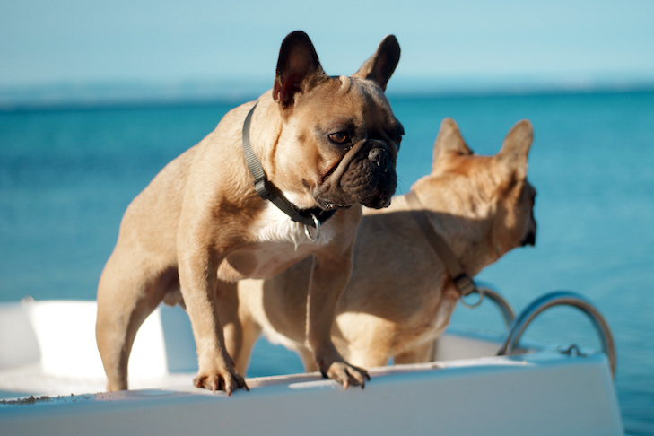 Two French bulldog on boat looking at the sea