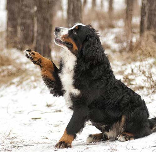 Bernese-mountain-dog-lifting-paw-header