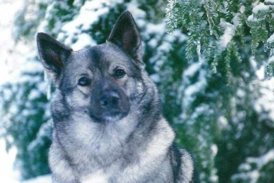Norwegian-Elkhound-Bonnet-horton-hero