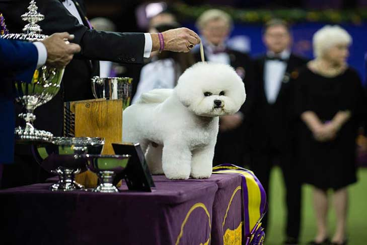 WKC-2018-winner-Bichon-Frise-Flynn-fun-facts-hero