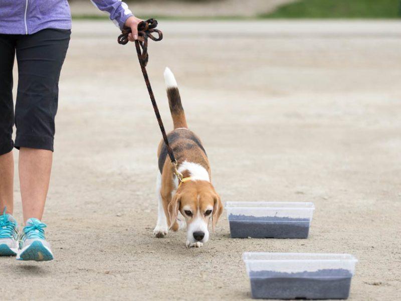 beagle-scent-work-og