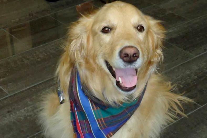 Gracie Comfort Dog Golden Retriever Orlando