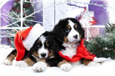 Christmas Puppies Bernese Mountain Dog