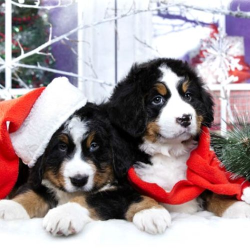 Puppies During The Holidays Tips For Handling Holiday